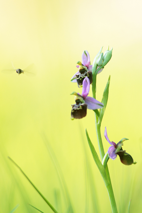 ophrys bourdon insecte pollinisation