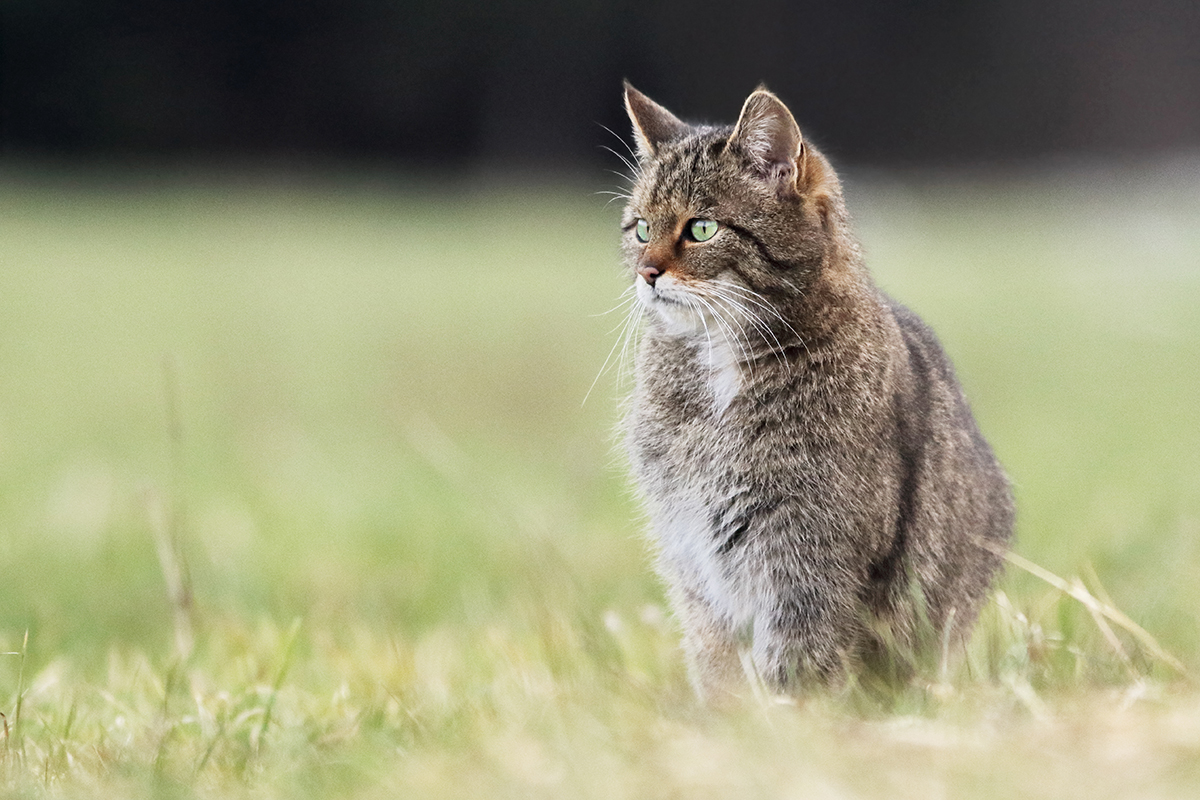 chat forestier chat sauvage jura