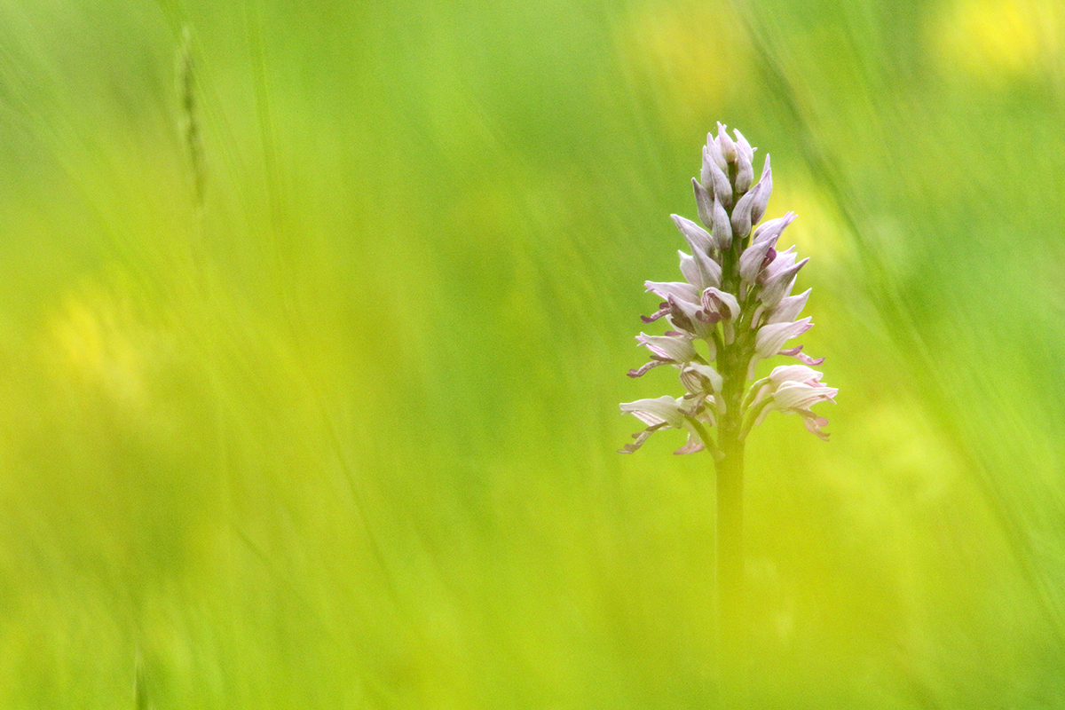 orchis militaire jura