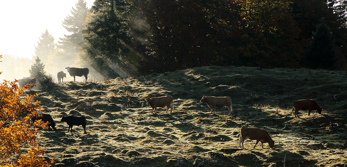 vaches forêt du massacre